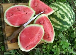 3x Watermelon Crimson Sweet Plug Plants Vegetables Garden - 24HR DISPATCH