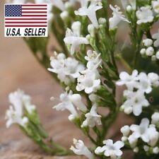 VALERIAN - 25++ SEEDS - Valeriana officinalis Herb Heirloom seeds!