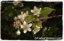 Rubus fruticosus 'Blackberry/Bramble' [ex. Co. Durham] 100+ semillas