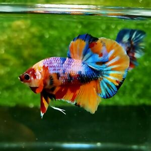 Live Betta Fish - Plakat Hmpk - Multicolor base yellow - bettafish #02