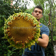 20 pcs Giant Sunflower Seeds Giant Big Flower Seeds
