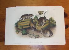 Audubon. Quadrupeds. Octavo. Brown or Norway Rat.