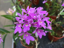 Oerstedella centradenia 7 shoots 15 x 10 cm B.S