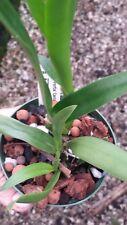 Orchid Cattleya Brassavola C Portia Canizarro x Bc Maikai Mayumi Plant