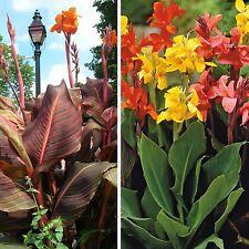 Canna Lily! fraîches Graines d'un grand mélange d'hybrides Upto 8 FT (environ 2.44 m) Tall! Couleurs Mélangées