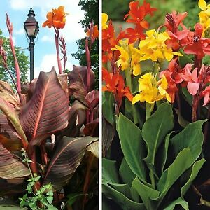 Canna lily!fresh seeds of a large mixture of hybrids upto 8ft tall!mixed colours