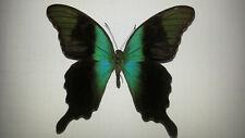 Papilio peranthus insulicola ex Sulawesi