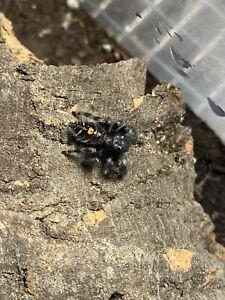 Jumping Spiders!! phidippus