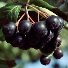 Chokeberry Viking Aronia prunifolia Berry Tree Plant Green 3L Pot