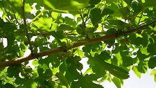 100 semillas de Morera Blanca (Morus Alba) seeds