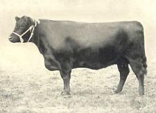 "GALLOWAY COW. ""Nancy Lee II of Castlemilk"" H&AS show prizewinner 1899 1912"