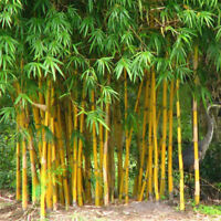 100Pcs Seeds Phyllostachys Pubescens Moso-Bamboo Seeds Garden Plants Decor GF