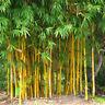 100Pcs Seeds Phyllostachys Pubescens Moso-Bamboo Seeds Garden Plants Decor .!