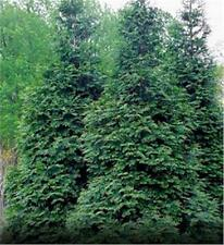 25 Green Giant Arborvitae Plants(Thuja Green Giant)2yr., containers ON SALE NOW!