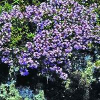 Creeping Thyme (Thymus Serpyllum Mother of Thyme)- 200 Seeds