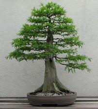 "10 SEMI DI ""Taxodium mucronatum Mexican cypress""cipresso di Montezuma"","