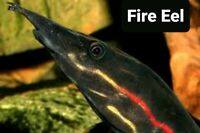 """Fresh Water Fire Eel 9"""" plus Beatifull Color. Always out of stock n"""