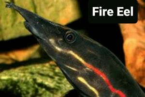 "Fresh Water Fire Eel 9"" plus Beatifull Color. Always out of stock n"