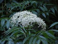 Elderberry (Sambucus nigra subs. canadensis) ✤ 8 Rooted Cuttings