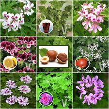 MEGA-MIX 8 Scented Pelargonium Grandeur Odorata Jumbo Plug Plants (geranium)