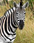 Zebra 8 x 10 / 8x10 GLOSSY Photo Picture IMAGE #3