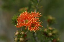 Orange-Flowered Eremaea Seed Drought & Frost Tolerant Evergreen