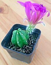 Echinocereus - Uncommon LARGE Flowering Cactus - Indoor Outdoor Plant