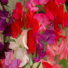 SWEET PEA - Mixed - 30 seeds