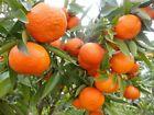 MANDARIN TANGERINE ORANGE FRUIT TREE REAL LIVE PLANT  1'' to 5''