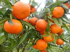 MANDARIN TANGERINE ORANGE FRUIT TREE REAL LIVE PLANT  1'' to 5''