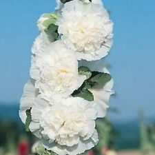 Hollyhock Seeds Chaters White Holly Hock Seeds 50 Seeds ( Perennial )
