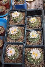 Obregonia  denegrii - rare cactus. 25 SEEDS. Own greenhouse.