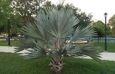 20 Mexican Blue Fan Palm Seeds - Brahea armata Hesper Sweet Brahea USA - BKSeeds
