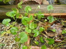 1 bunch Gotu Kola Plants / Edible MEDICINAL Herb plants