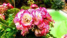 """Geranium (Pelargonium) """"Appleblossom"""" x 1 plant. Rosebud. Dwarf."""