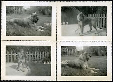 Beautiful Giant Schnauzer Pet Dog Vintage Photo Lot of 4
