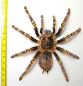 Unique Real Big Tarantula (Grammostola aureostriata) Taxidermy, Theraphosidae