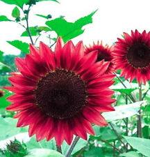FD1535 Sunflower Seed red Fortune Flower Seed ~1 Pack 15 Seeds~