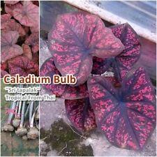 Caladium Bulb Queen of the Leafy Plant ''Sritapalak'' Colourful Tropical Thai