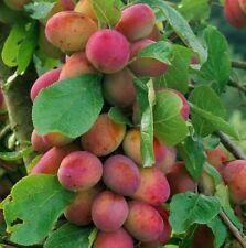 Plum Fruit Plants