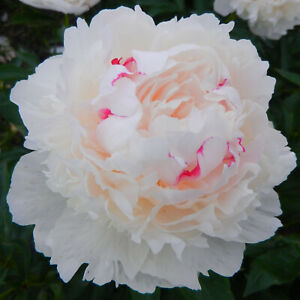 Peony Couronne D'or Double Flower Perennial Fragrant Garden Bare Root Plant