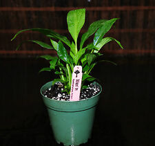 """Beautiful Peace Lily Spathiphyllum Shipped in 4"""" Houseplant Healthy & Thriving!"""