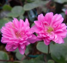 Hepatica japonica rare plant Japanese楠玉