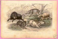 Wild Boar - Chinese Sow - Deer Pig - Peccary - 1837 Mammals Handcolored