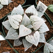 Succulent - Haworthia cv 'Snow Ball', offset