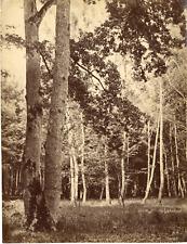 France, Forêt de bouleau Vintage albumen print Tirage albuminé  19x24  Cir