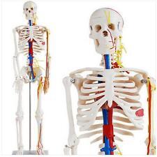 85cm Human Anatomical Anatomy Skeleton Medical Teach Model Blood Vessel Stand ^