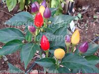 🔥 BOLIVIAN RAINBOW Chili bunt 10 Samen auch für Balkon+Zimmer Paprika Geschenk