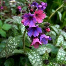 Ex271 LUNGWORT Pulmonaria Officinalis x10 seeds JERUSALEM SAGE EVERGREEN