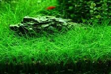 PIANTA VERA PRATO ACQUARIO ELEOCHARIS SP MINI EASY AQUARIUM PLANT !